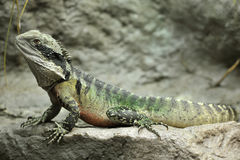 Eastern water dragon,sydney, australia Royalty Free Stock Photos