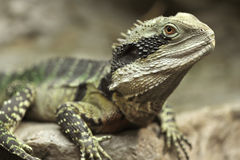 Eastern water dragon,sydney, australia Royalty Free Stock Images