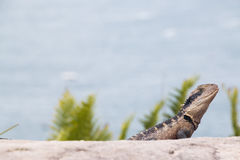 Eastern water dragon, Sydney Harbour, Australia Stock Photography