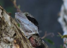 Eastern Water Dragon Stock Photos