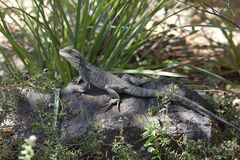 Eastern Water Dragon in the woods Royalty Free Stock Photo