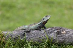 Eastern Water Dragon in the woods Royalty Free Stock Image