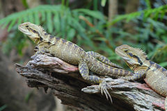 Eastern water dragons Stock Photos