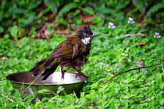 Eastern Whip Bird taking a bath Royalty Free Stock Photography