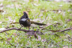 Eastern whipbird Royalty Free Stock Images