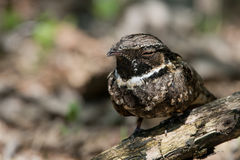 Eastern Whippoorwill taking a snooze Stock Images