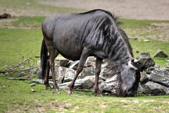 Eastern white-bearded wildebeest Royalty Free Stock Photo