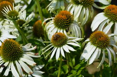 Eastern White Coneflower Echinacea Stock Images