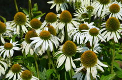 Eastern White Coneflower Echinacea Royalty Free Stock Image