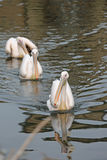 Eastern White Pelican Royalty Free Stock Images