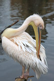 Eastern White Pelican Stock Image