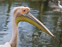 Eastern white pelican. Close-up of an Eastern White Pelican stock photography