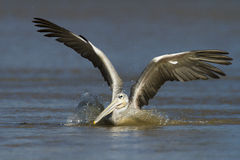Eastern White Pelican Stock Photo