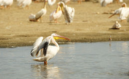 Eastern White Pelican (Pelecanus Onocrotalus) Royalty Free Stock Photo