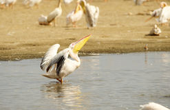 Eastern White Pelican (Pelecanus onocrotalus) Royalty Free Stock Images