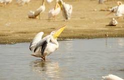 Eastern White Pelican (Pelecanus onocrotalus) Royalty Free Stock Images