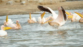 Eastern White Pelican (Pelecanus onocrotalus) Stock Images