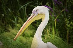 Eastern White Pelican portrait. stock image