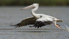 Eastern White Pelican Royalty Free Stock Photo