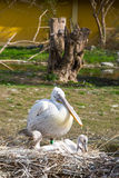 Eastern white pelican with two babies in the nest Royalty Free Stock Photo