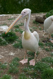 Eastern white pelican Royalty Free Stock Photos