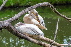 Eastern white pelicans Stock Photography