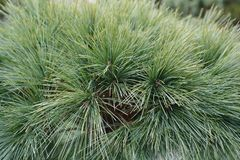 Eastern white pine Radiata. Latin name - Pinus strobus Radiata royalty free stock photo