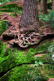 Eastern White Pine Roots on Bedrock Stock Photos
