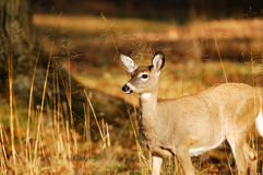 Eastern Whitetail Deer Doe. In morning sun standing in field stock images