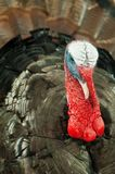 Eastern Wild turkey Stock Image
