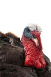 Eastern Wild turkey Stock Photo