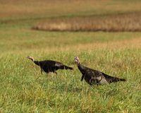 Eastern Wild Turkey Stock Photography