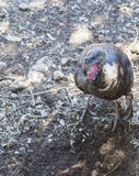 Eastern Wild Turkey Royalty Free Stock Image