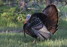 An Eastern Wild Turkey male Meleagris gallopavo animal in full strutting display walking through a grassy meadow in Canada. Eastern Wild Turkey male Meleagris stock photography