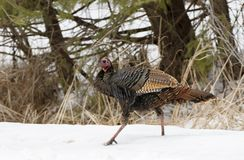 An Eastern Wild Turkey Meleagris gallopavo closeup eating along a country road in the snow in Canada. Eastern Wild Turkey Meleagris gallopavo closeup eating royalty free stock photos