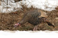 An Eastern Wild Turkey Meleagris gallopavo closeup eating along a country road in the snow in Canada. Eastern Wild Turkey Meleagris gallopavo closeup eating stock photo