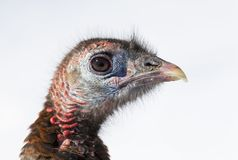 An Eastern Wild Turkey Meleagris gallopavo closeup standing in the snow in Canada. Eastern Wild Turkey Meleagris gallopavo closeup standing in the snow in Canada stock photo