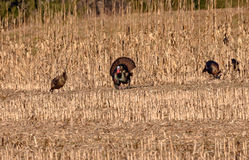 Eastern Wild Turkey Royalty Free Stock Photography