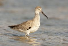 Eastern Willet Stock Photos