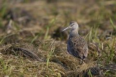 Eastern Willet. (catoptrophorus semipalmatus semipalmatus) on grass near beach Royalty Free Stock Photo