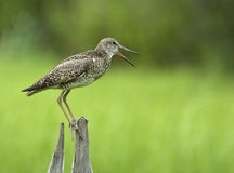 Eastern Willet Stock Photo