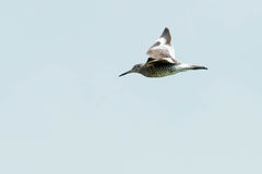 Eastern Willet. Flying across an overcast sky Royalty Free Stock Image