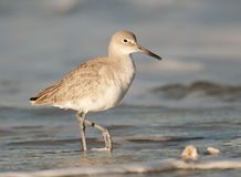 Eastern Willet Shorebird Stock Images