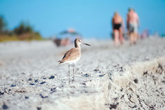 Eastern Willet - Small Bird on Beach of Sanibel Island Florida Royalty Free Stock Image