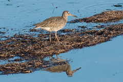 Eastern Willet Stock Image