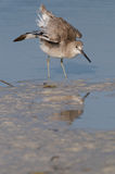 Eastern Willet stretching wings  Royalty Free Stock Photography