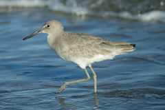 Eastern Willet Stock Images