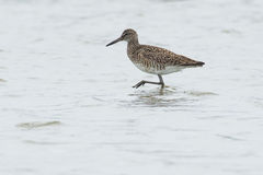 Eastern Willet Royalty Free Stock Photography