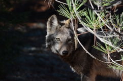 Eastern Wolf in the wilderness. An eastern wolf in the wilderness of Algonquin Park in Ontario, Canada Royalty Free Stock Photography