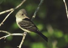 Eastern Wood-Pewee Stock Photo